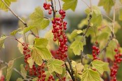 Завод красной смородины с красочными ягодами Стоковое Фото