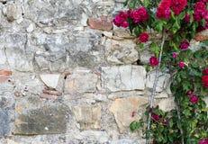 Завод красных роз рядом с кирпичной стеной Стоковое Изображение
