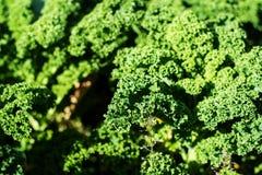 Завод курчавой листовой капусты Стоковые Фотографии RF