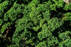 Завод курчавой листовой капусты Стоковые Изображения RF