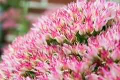 Завод макроса суккулентный в цветени Стоковое Фото