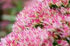 Завод макроса суккулентный в цветени Стоковые Фотографии RF