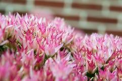 Завод макроса суккулентный в цветени Стоковые Фото