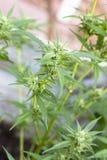 Завод марихуаны конопли Стоковые Фотографии RF