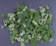 Завод Мелиссы Лист Мелиссы Листья и цветки Мелиссы Стоковое фото RF