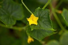 Завод огурца с цветком на саде Стоковые Изображения RF