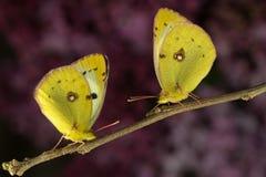 2 заволокли желтая бабочка в розовой предпосылке Стоковые Фотографии RF