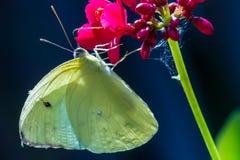 Заволокли сера (philodice Colias) Стоковые Фото