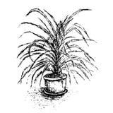 Завод дома в цветочном горшке на белой предпосылке вал ладони острова Корсики среднеземноморской принятый съемкой Стоковое Изображение