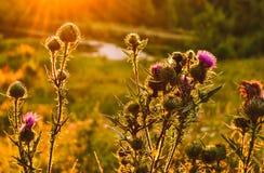 Завод лопуха в солнце Стоковая Фотография RF