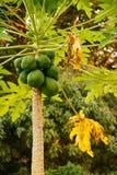 Завод папапайи с зеленым плодоовощ Стоковое фото RF