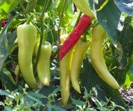 Завод перца банана Стоковая Фотография