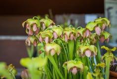 Завод пука цветков Sarracenia зеленый в питомнике Стоковая Фотография RF