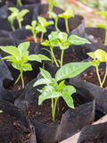 Завод пускать ростии в сумке питомника Стоковая Фотография