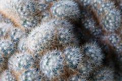 Завод пустыни кактуса, конец вверх малого кактуса в баках, немногого Стоковые Фото