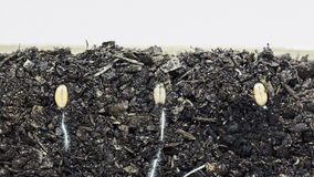 Завод пшеницы растя от почвы сток-видео