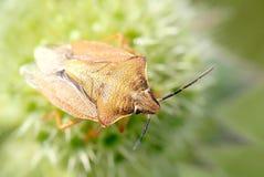 завод раннего утра bedbug сидит Стоковые Фото