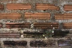 Завод растя на кирпичной стене Стоковая Фотография
