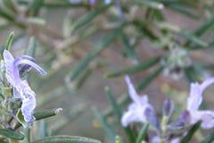 Завод Розмари с цветками Стоковые Фото