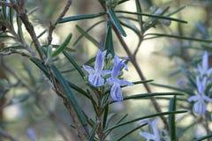 Завод Розмари с цветками Стоковые Изображения RF