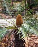Platyphylla Cycas Стоковые Изображения