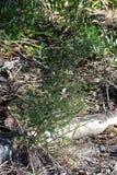 Завод спаржи подробно от леса Стоковая Фотография RF