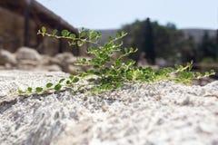 Завод с зеленым цветом выходит расти из белого камня Стоковая Фотография