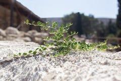 Завод с зеленым цветом выходит расти из белого камня Стоковая Фотография RF