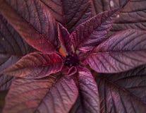 Завод с пурпуром выходит крупный план стоковое фото