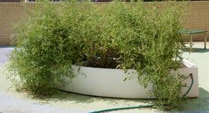 Завод томата на саде общины стоковые изображения rf