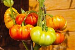 Завод томата с томатами бифштекса в домашнем саде Стоковое Изображение RF
