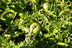 Завод томата Стоковое Изображение