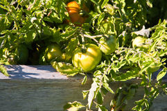 Завод томата Стоковые Фото
