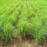 Завод травы лимона Стоковые Фотографии RF