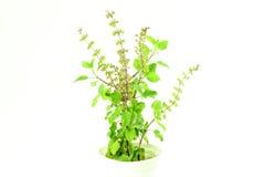Завод травы целебного tulsi или святого базилика индийский на белой предпосылке стоковые изображения