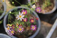 Завод цветка бабочки в саде Стоковые Изображения