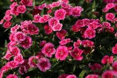 Завод цветка бабочки в саде Стоковые Фотографии RF