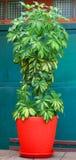 Завод цветка Schefflera Стоковое Изображение