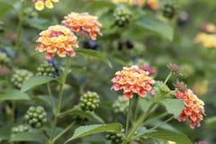 Завод цветков и ягод Lantana стоковые изображения