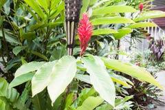 Цветки красного цвета Galangal Стоковая Фотография RF