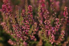 Завод цветя вереска Стоковое Фото