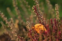 Завод цветя вереска Стоковая Фотография