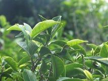Завод чая Стоковая Фотография RF