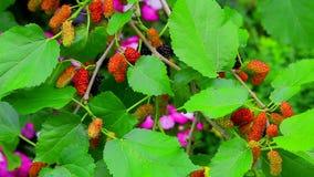 Завод шелковицы с ягодами видеоматериал