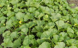 Завод дыни с желтыми цветками и зелеными лисами Стоковые Фото