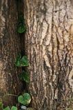 Заводы альпиниста на большой поверхности дерева Стоковые Изображения RF