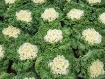 Заводы белой капусты крупного плана в саде Стоковое фото RF