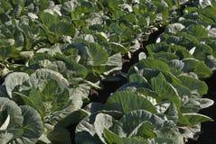 Заводы белой капусты стоковая фотография rf