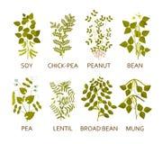 Заводы бобов с листьями, стручками и цветками Стоковое фото RF