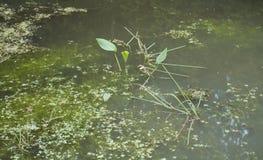 Заводы болота в трясине Стоковые Изображения RF